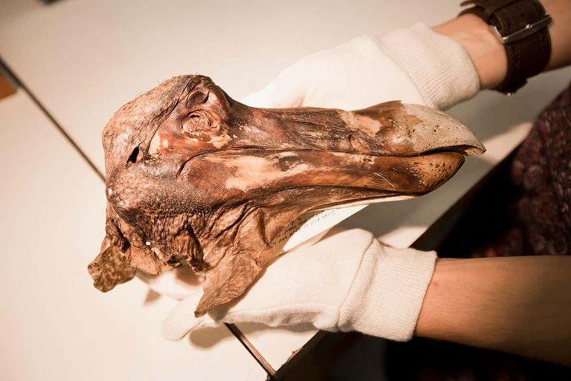 The only preserved head of the extinct Dodo bird. Image credit: James Davies