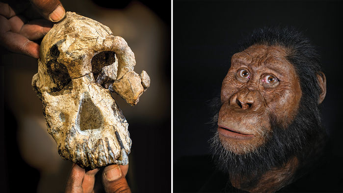 A skull (left) shows that Australopithecus anamensis (artist's reconstruction, right) had a small brain and a protruding face. (LEFT TO RIGHT): JENNIFER TAYLOR/CLEVELAND MUSEUM OF NATURAL HISTORY/DALE MORI AND LIZ RUSSELL; JOHN GURCHE AND MATT CROW/CLEVELAND MUSEUM OF NATURAL HISTORY